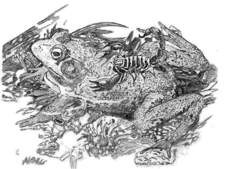 Frog scorpion tattoo drawing