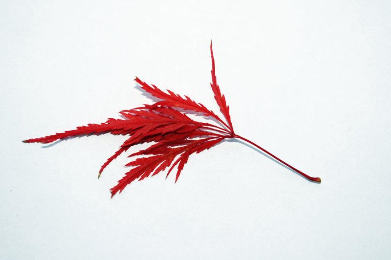 Japanese maple leaf tattoo design 2