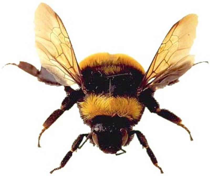 Tremendous tattoo design of bumblebee