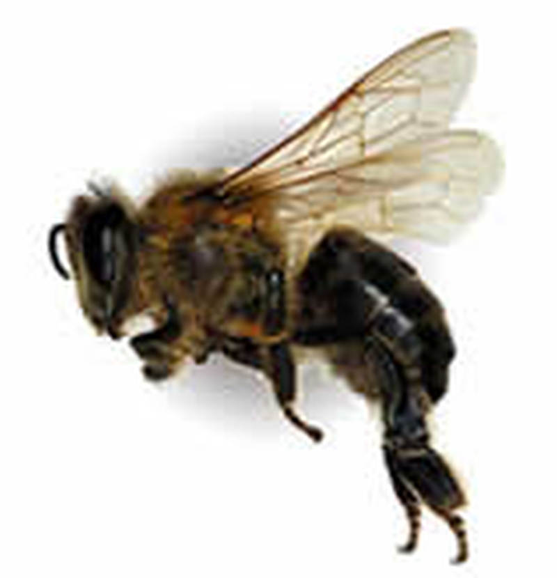 Terrific honey bee tattoo design